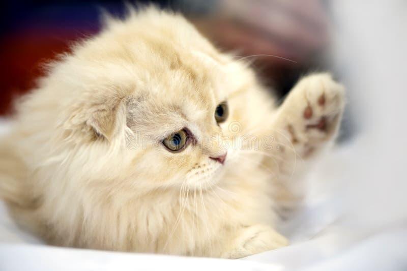 Download Adorable Scottish Fold Kitten Close-up Stock Photo - Image: 24988094
