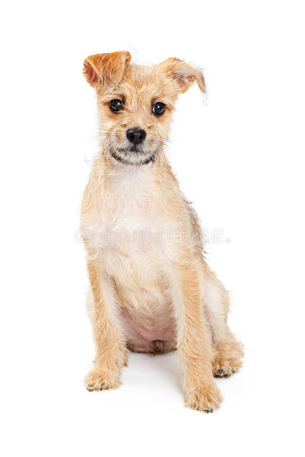 Adorable Scruffy Puppy Sitting Patiently. Cute little scruffy small terrier breed puppy sitting patiently on a white studio background royalty free stock photos