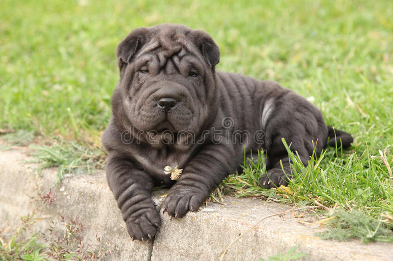 Adorable sharpei puppy lying stock images