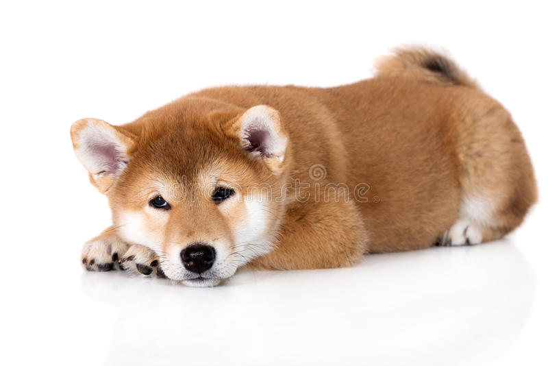 Great Fluffy Canine Adorable Dog - adorable-shiba-inu-puppy-lying-white-red-69362472  Best Photo Reference_916690  .jpg