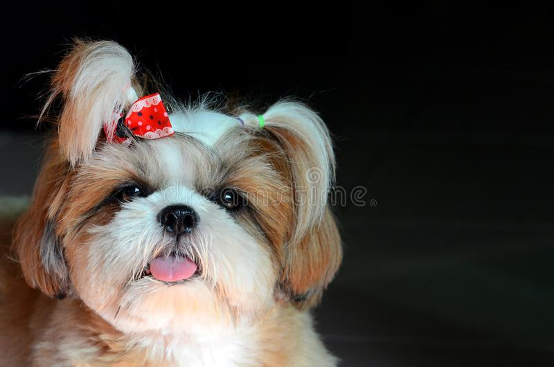 Adorable Shih Tzu dog stare at the camera royalty free stock images