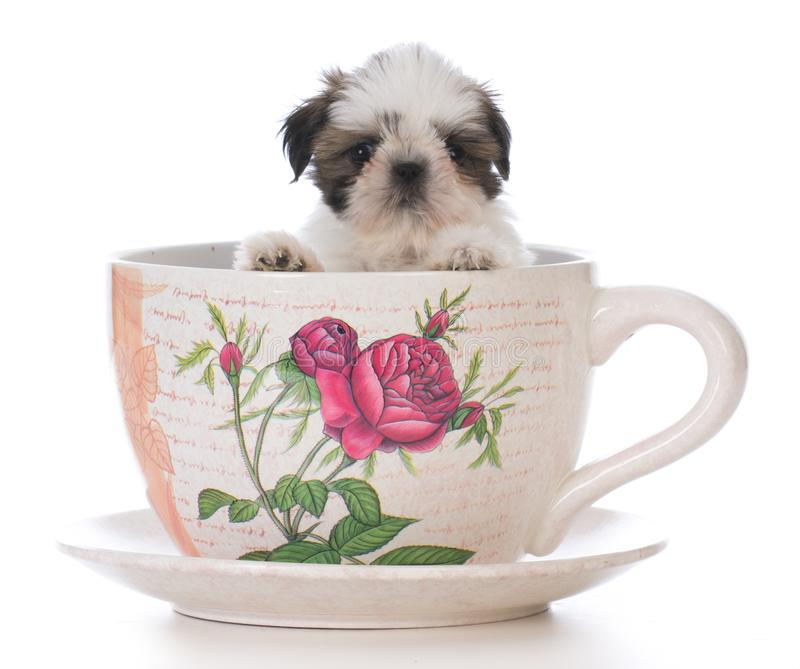 adorable shih tzu puppy in a tea cup stock photo