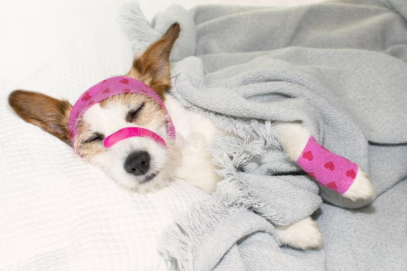 ADORABLE SICK DOG SLEEPING OR RESTING ON BED WITH PINK AND HEART royalty free stock photo