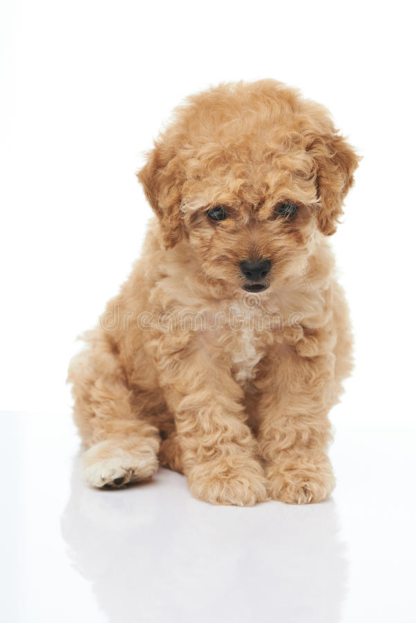 Adorable sitting brown poodle puppy stock images