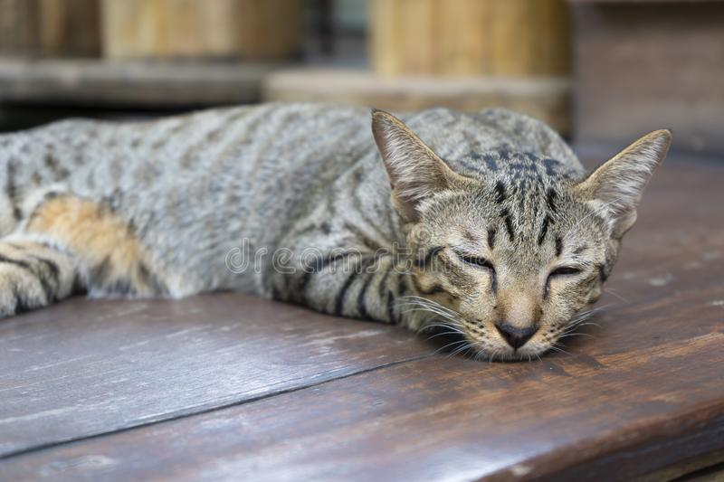 Adorable sleepy cute Ginger Cat lying resting relaxed at home stock photo