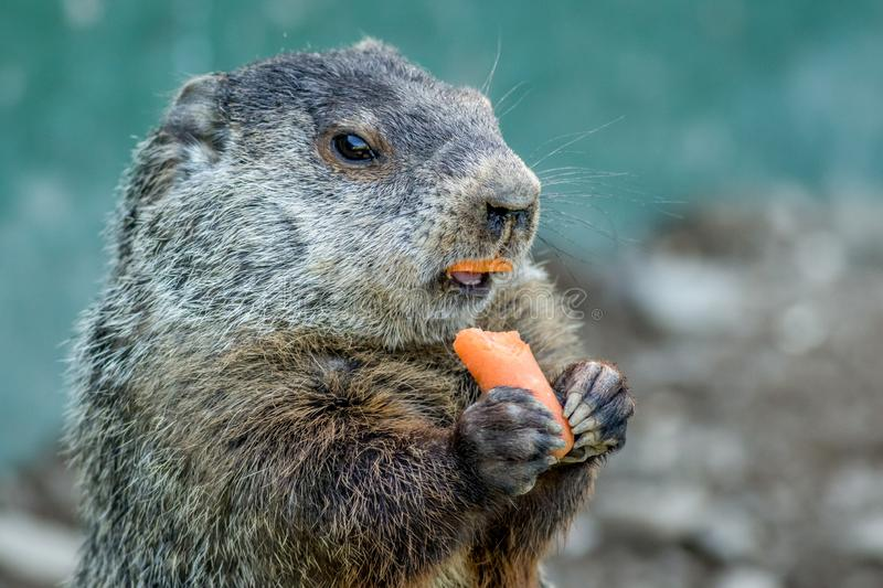 Adorable small funny young groundhog holds a carrot with both hands stock photo