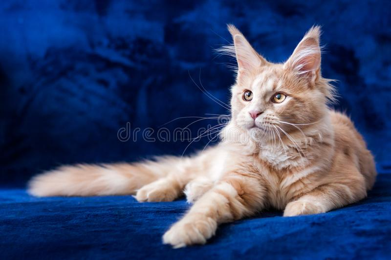 Adorable small maine coon cream tabby kitten lying stock image