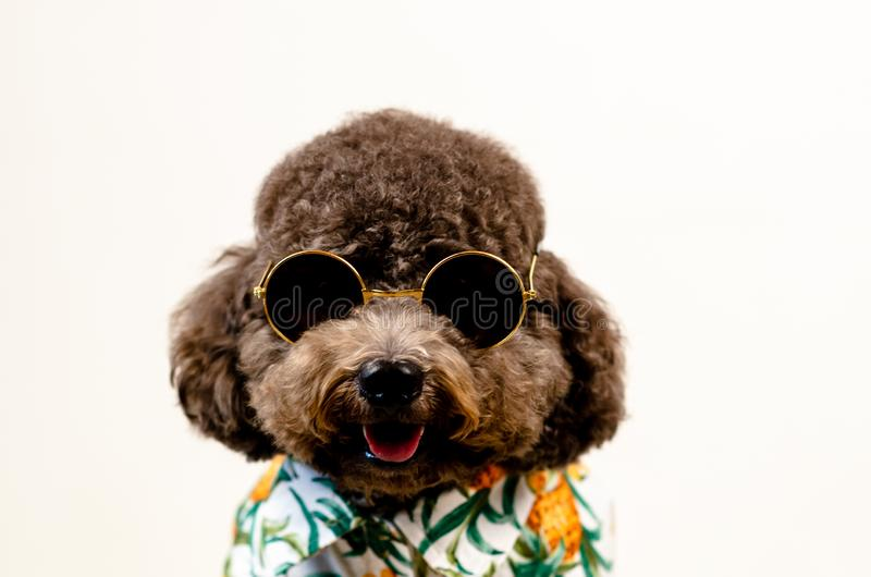 An adorable smiling black toy Poodle dog wears sunglasses and Hawaii dress for summer season on white background stock images