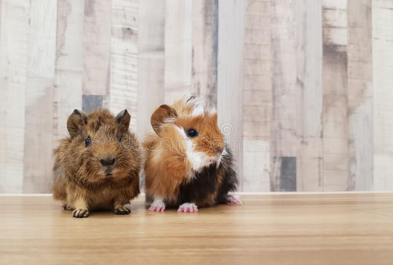 Adorable Small Baby Guinea Pig Friends Stock Image - Image