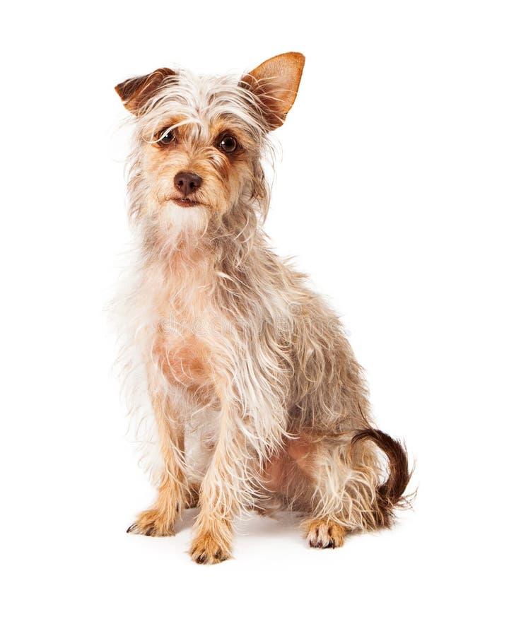 Scruffy Breeds Of Dogs