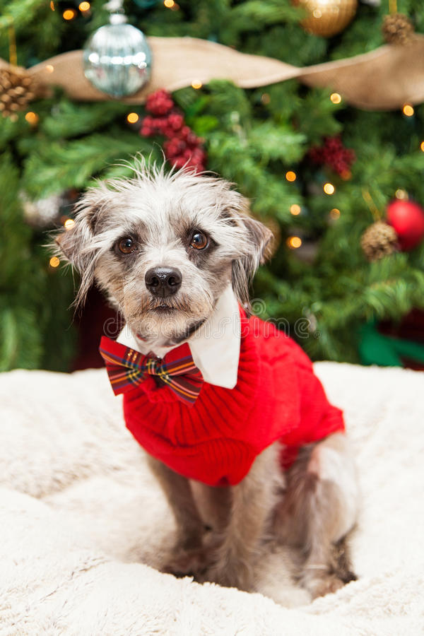 Fantastic Terrier Bow Adorable Dog - adorable-terrier-dog-christmas-sweater-cute-mixed-small-breed-scruffy-wearing-red-cable-knit-plaid-bowtie-sitting-64372072  Perfect Image Reference_793269  .jpg