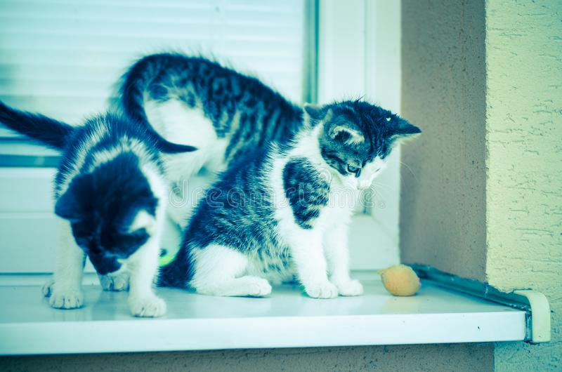 Three little lovely cat. Adorable three black and white little cat pet playing on the window with colorful artificial mouse toys stock images