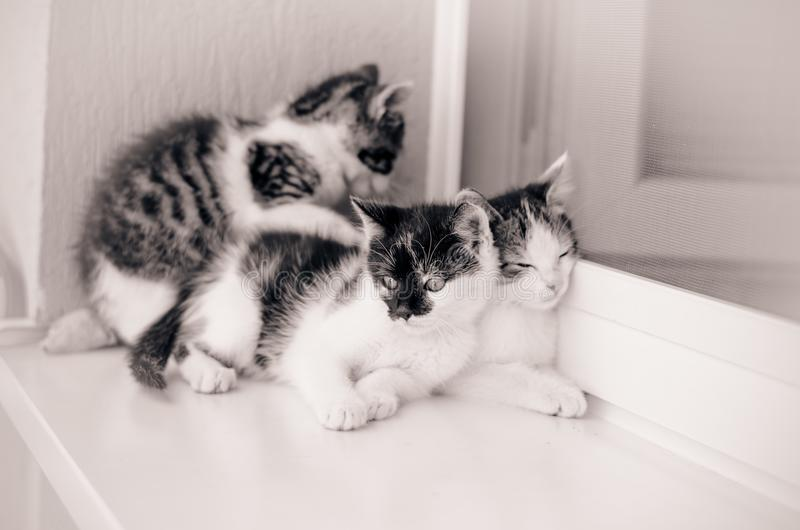 Three little lovely cat. Adorable three black and white little cat pet playing on the window stock image
