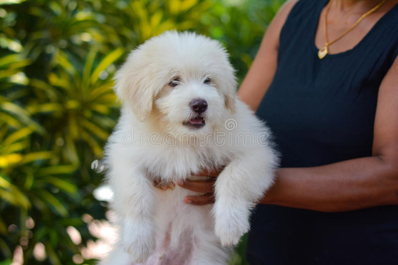 An Adorable Tibetan Terrier Puppy. Tibetan Terrier Dogs Have An Instinctive Love Of Water And Are Easy To Train To Basic Or Advanced Obedience Standards stock images