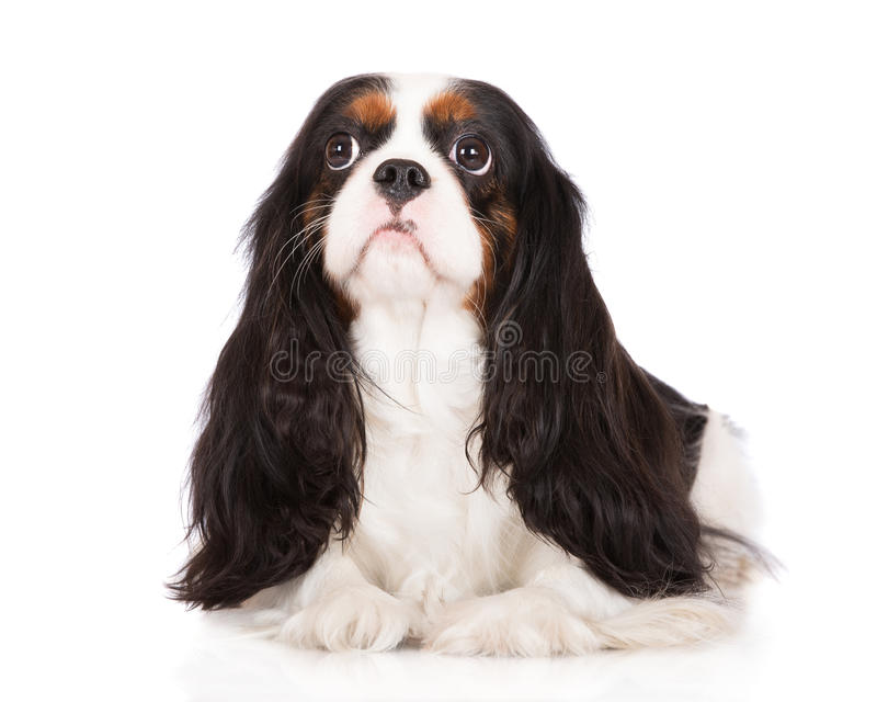 Top Charles Spaniel Brown Adorable Dog - adorable-tricolor-cavalier-king-charles-spaniel-dog-white-49379852  Graphic_926239  .jpg