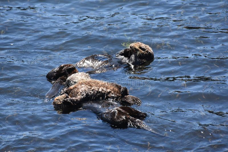 Adorable Trio of Sea Otters Floating on their Backs in the Pacific. Pacific ocean with an adorable trio of sea otters floating royalty free stock photos