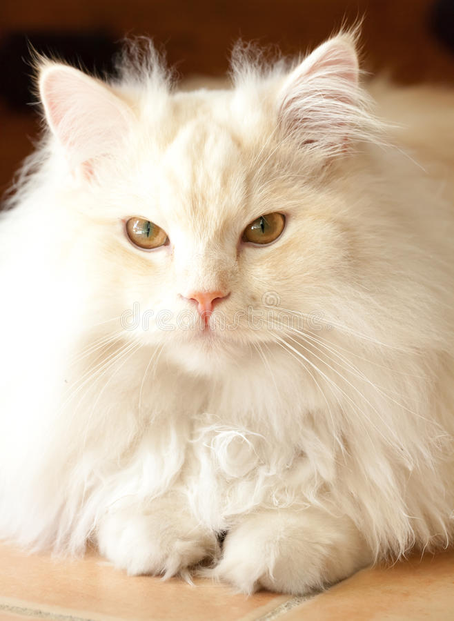 Adorable White and Apricot Persian Ragdoll Cat. Adorably cute white and ginger tabby Persian Ragdoll cat sitting relaxed and making friendly eye contact stock photos