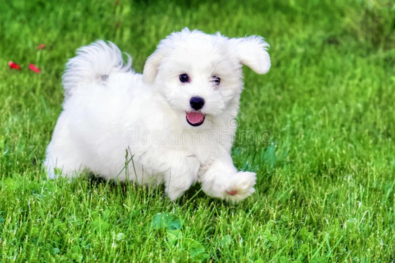 Adorable white Bichon Frise puppy playing in grass royalty free stock photos