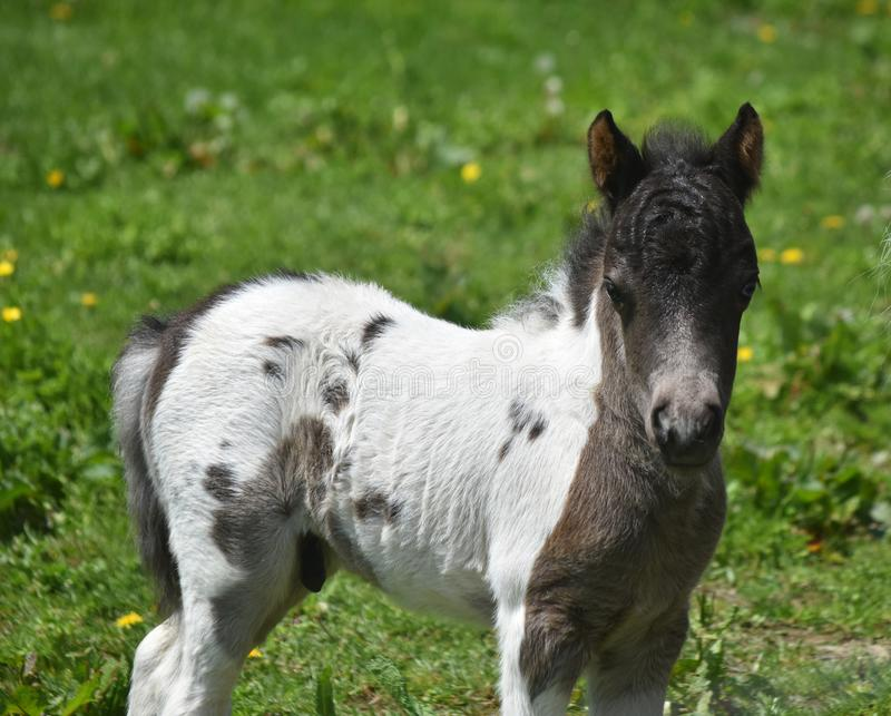 Adorable White and Black Miniature Horse Foal in Pennsylvania royalty free stock photography
