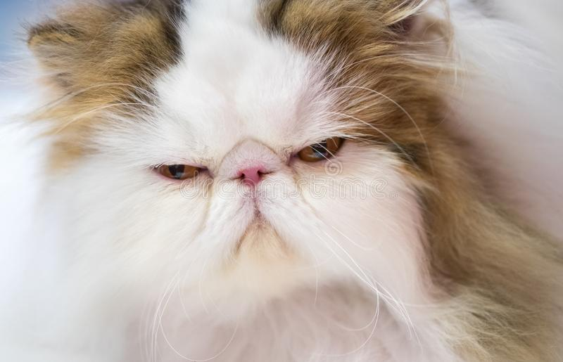 Adorable Persian cat at annual cats show royalty free stock photo