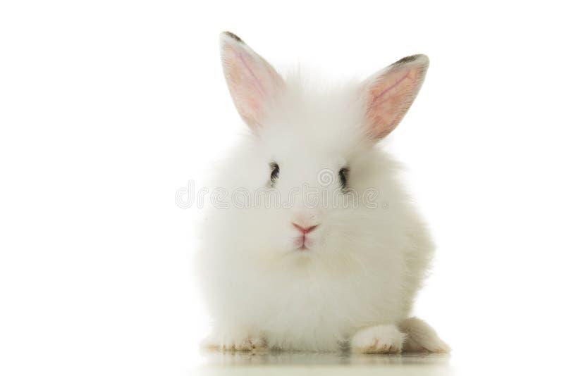 Adorable white bunny rabbit stock photography