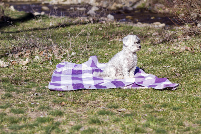 Adorable white dog all wrapped up in a blue blanket. Adorable white dog all wrapped up in a blanket.looking at the camera royalty free stock images
