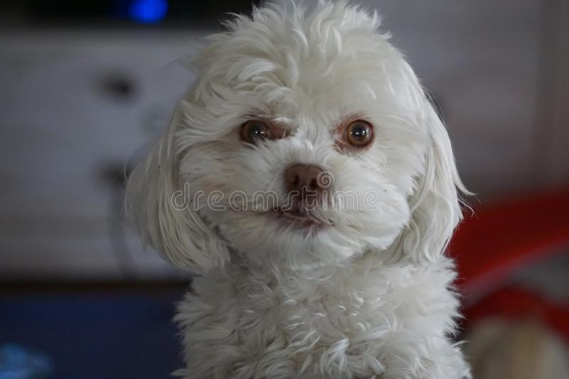 Adorable White Fluffy Poodle Bichon Frise Dog Smirking stock image