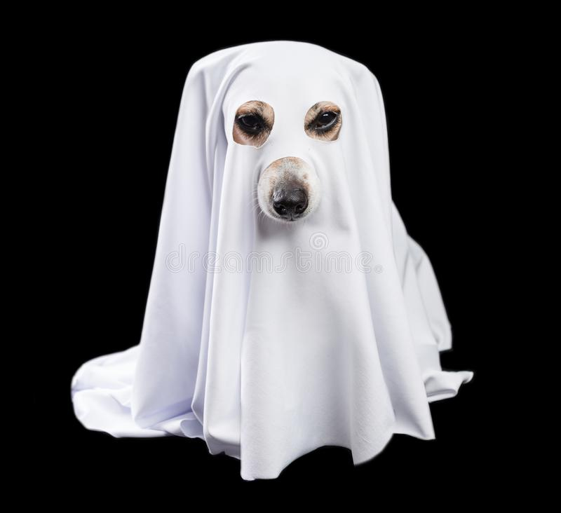 Adorable white ghost dog in black background. Halloween party theme. Happy halloween royalty free stock photo