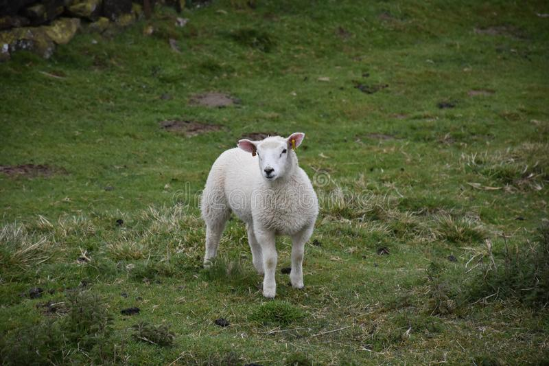 Adorable White Lamb Standing in a Field on the Dales stock images
