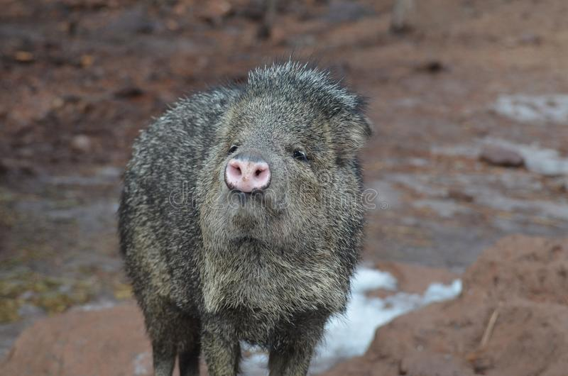 Adorable wild javerlina pig standing on mud stock photography