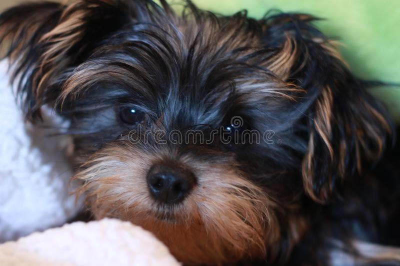 Adorable yorkie puppy royalty free stock image