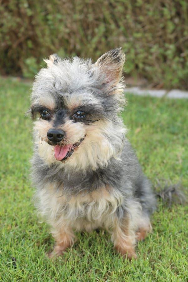 Adorable Yorkie Small Dog stock photo