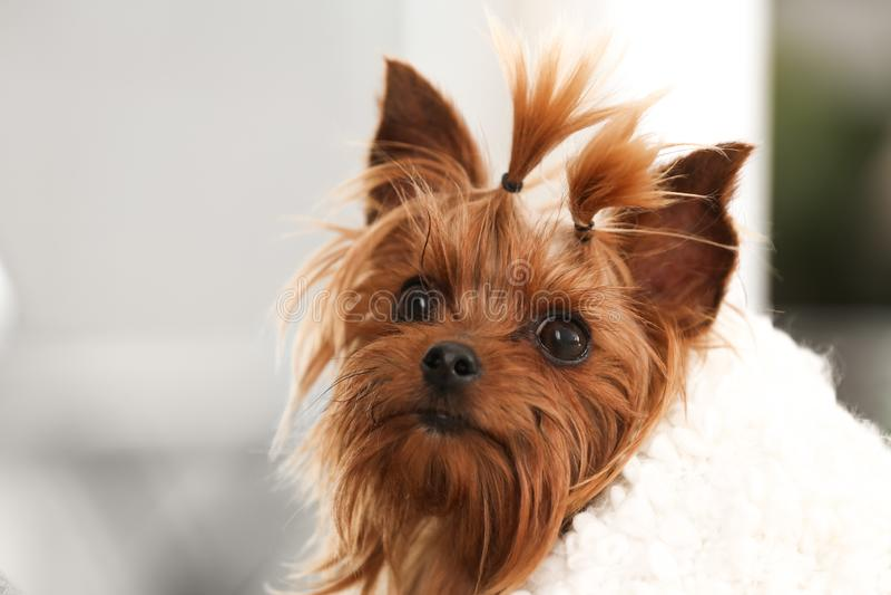 Adorable Yorkshire terrier sob o plaid fotos de stock