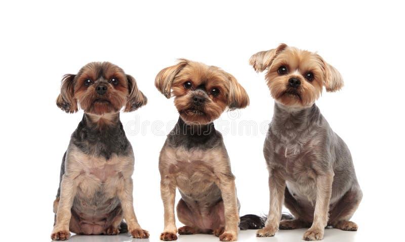 Adorable yorkshire terriers seduti in fila su fondo bianco fotografia stock libera da diritti