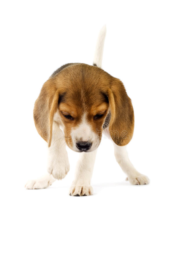 Adorable young beagle puppy stock photos