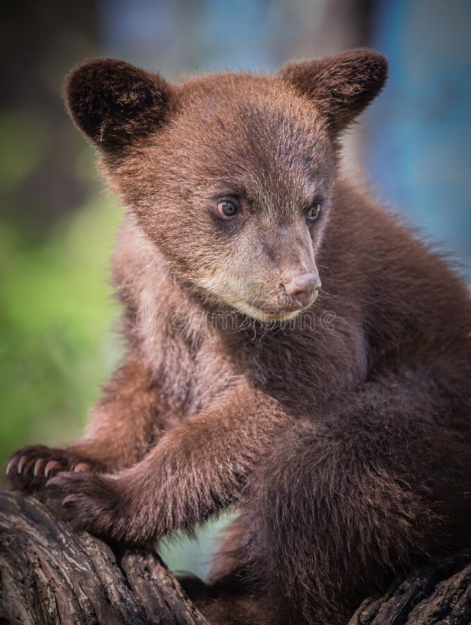 Adorable young black bear cub in tree waits for mom. In MN royalty free stock photo