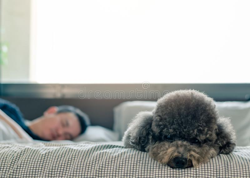 An adorable young black Poodle dog lay on on bed waiting the owner to wake up in the morning with sunshine on messy bed stock image
