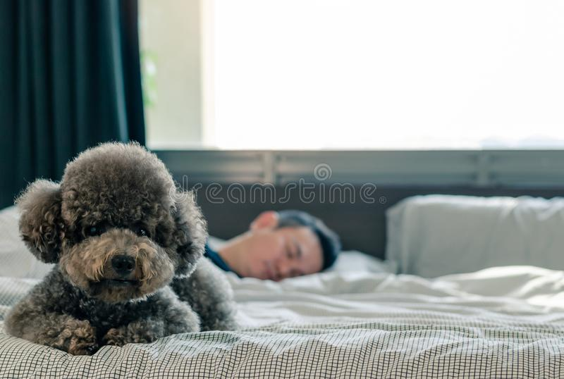 An adorable young black Poodle dog lay on on bed waiting the owner to wake up in the morning with sunshine on messy bed royalty free stock photography