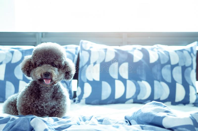 An adorable young black Poodle dog playing alone and hiding in blanket after wake up in the morning with sunshine on messy bed royalty free stock photo
