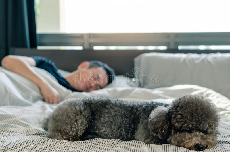 An adorable young black Poodle dog sleeping on bed with the owner with sunshine on messy bed stock photography