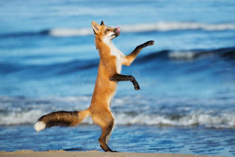 Adorable young fox playing on the beach royalty free stock photo