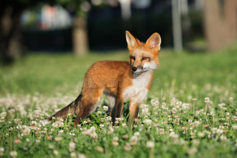 Adorable young fox portrait on grass. Adorable young fox posing outdoors in summer royalty free stock images