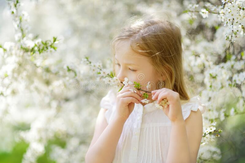 Adorable young girl in blooming cherry tree garden on beautiful spring day. Cute child picking fresh cherry tree flowers at spring. Kid exploring nature stock image