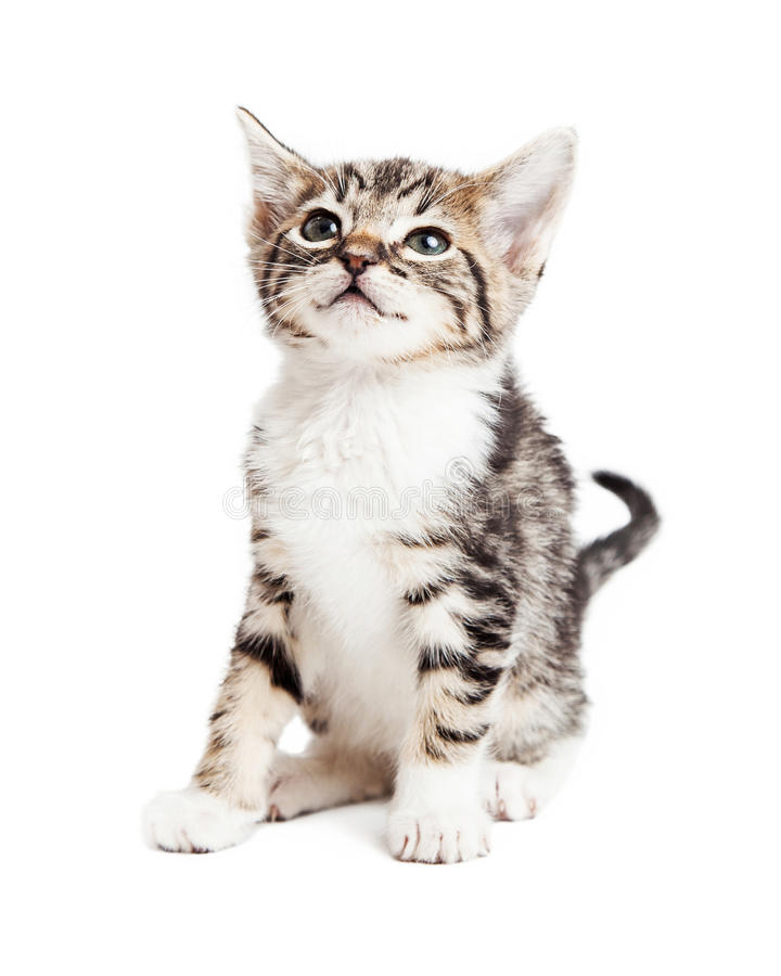Adorable Young Tabby Kitten Over White royalty free stock images