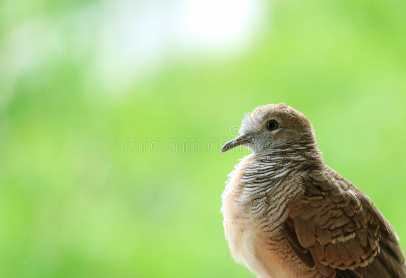Adorable Young Wild Zebra Dove Relaxing in the Sunlight stock photography