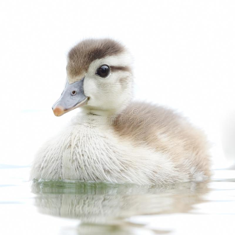 Adorable Young Wood Duck Swimming in a Pond stock photo