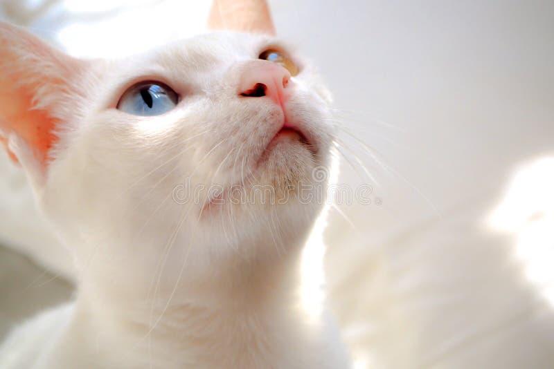 Adorableclose encima de la luz del sol amarilla azul del ojo del gato blanco en el fondo blanco de la cama fotos de archivo libres de regalías