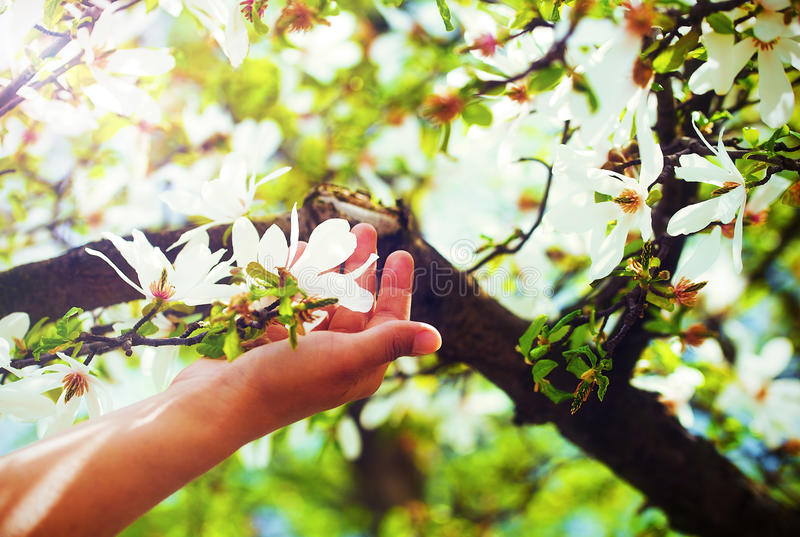 Adorando a magnólia da mola floresce em uma árvore, na luz do sol Flor na mão da mulher imagem de stock