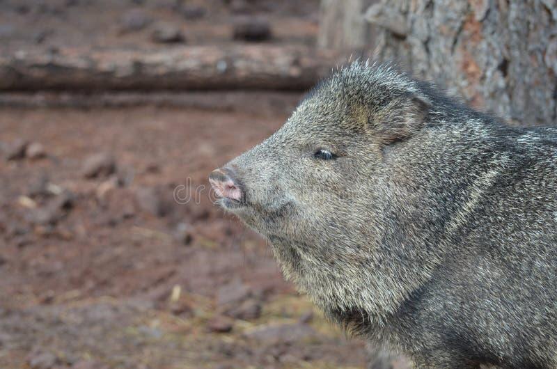 Adorable wild javerlina hog looking at something stock image