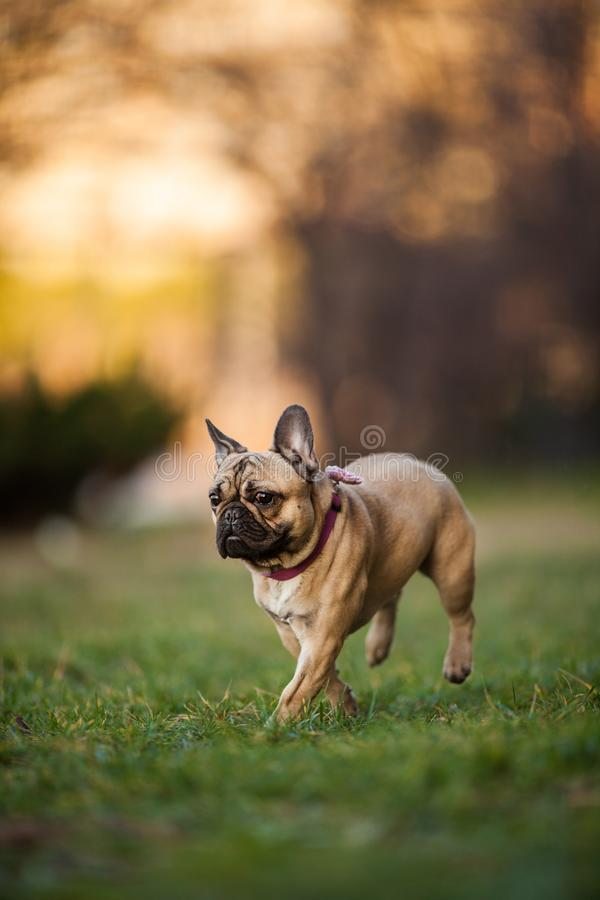 Adoreable Nine Months Old Purebred French Bulldog at Park royalty free stock photos